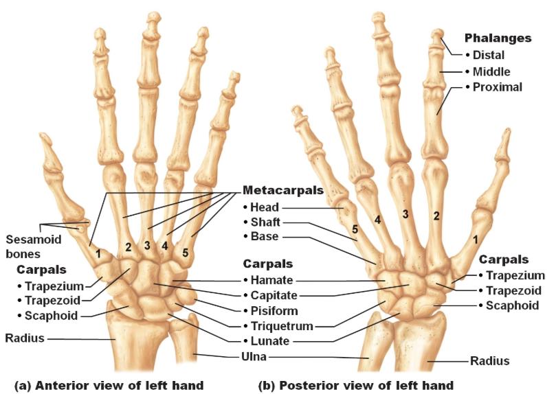 hand skeleton bones anatomy